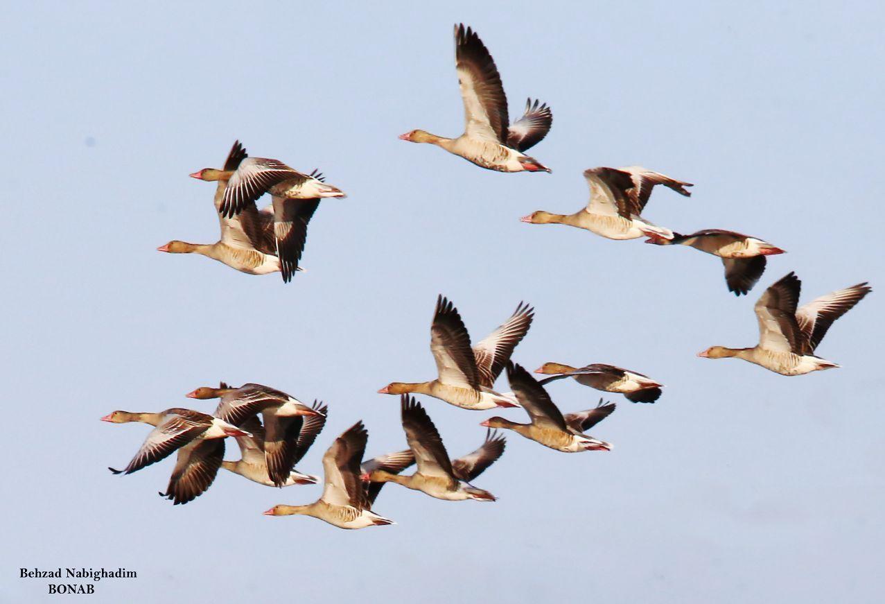 حفاظت مشارکتی گونههای غاز و اردک در معرض خطر در تالاب قره قشلاق